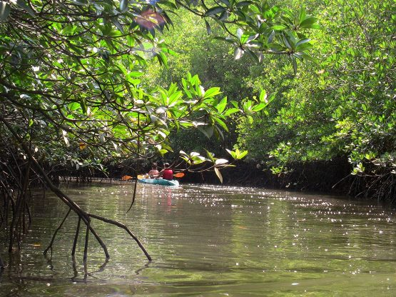 Tandem kayak in mangrove waterway