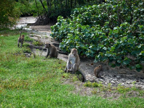 troop of crab eating macaques